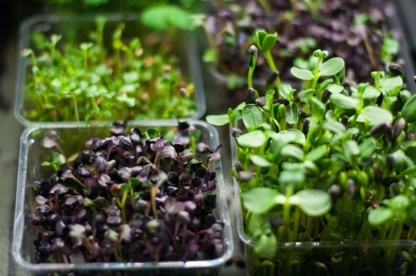 Микротравы и микрозелень