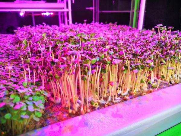 Выращивание микрозелени на ситиферме Реоген Аэропоника